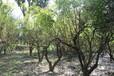 石榴树花图片,果树绿化,观花花石榴树