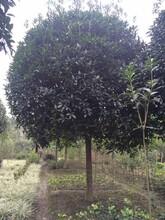 14-16公分桂花,金桂,四川绿化苗木图片