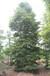 成都楠木,小叶桢楠,金丝楠木供应,楠木基地苗木