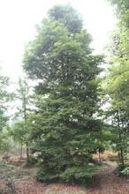 小叶桢楠,桢楠价格,绿化苗木价格图片