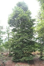 成都小叶桢楠,桢楠绿化苗木,18-20公分桢楠图片
