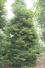 桢楠价格,优质小叶桢楠18公分,绿化苗木供应图片