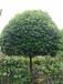 四川桂花树,成都优质桂花,绿化苗木基地供应