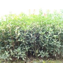 佛顶桂,四季桂,桂花绿化灌木,绿化苗木高度约30公分