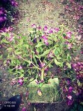 巴西野牡丹,花灌木,绿化苗木