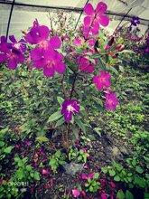 巴西野牡丹,绿化花灌木,