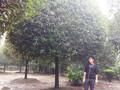 桂花树品种及价格,金桂苗木供应图片