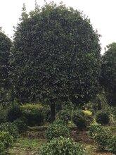 桂花树基地,大量苗木供应,成都优质绿化苗木供应图片