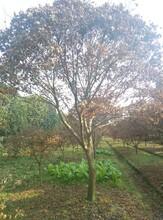 红枫树苗木价格,绿化苗木,成都本地红枫图片