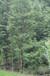 水杉种植基地,大量水杉供应