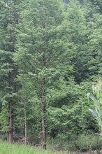 成都水杉树供应,行道树水杉供应,高大乔木