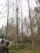 水杉绿化苗木18-20公分,水杉基地水杉苗木批发