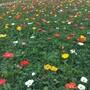 草花苗木出售,冰岛虞美人,街旁草花装饰图片