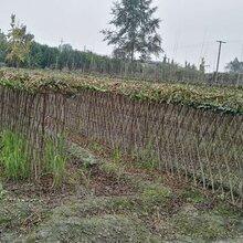 紫薇造型,植物造型,百日紅苗木圖片