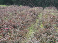 红花檵木灌木苗子,色带,绿篱,色块图片