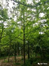 千蜀园林15公分银杏2018最新报价2.5米分枝银杏低价批发图片