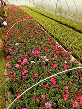 四季開花的西洋鵑_宿根花卉西洋鵑_西洋鵑基地_20公分西洋鵑價格