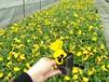供应三色堇-工程用苗-四川唯一三色堇基地-绿化花卉