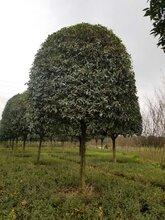 12公分桂花-成都桂花基地-精修剪树形