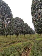 桂花行道树-工程苗-成都千蜀园林-量大从优