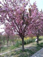 8公分樱花价格200元-日本晚樱-樱花基地