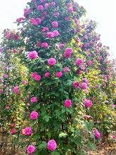 月季柱造型最新价格苗圃月季开花效果月季造型
