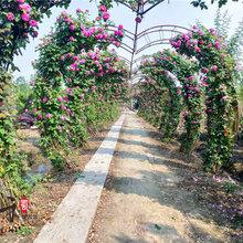 月季拱门造型最新价格苗圃月季开花效果电联