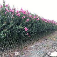 有特色的绿篱紫薇编织绿篱可替代传统围墙的紫薇造型围墙会开花的围墙