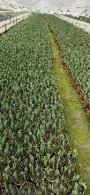 低价处理进口郁金香-数量60万-四川成都货源图片