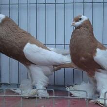 长期出售观赏鸽,观赏鸽种鸽,光赏鸽子鸽子蛋价格