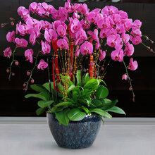 武漢花卉租賃花木銷售植物租售,武漢春節花卉發財樹紫砂盆