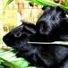 湖南黑豚鼠養殖技術公司