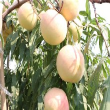 新品种桃树苗种植基地
