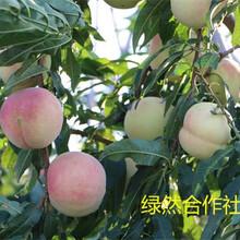 新品种桃树苗种植