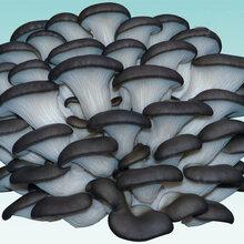 商河蘑菇菌种