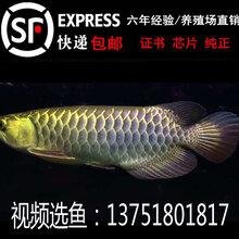 红龙鱼活体红龙鱼20公分高清视频图片