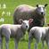 可以提高羔羊存活率