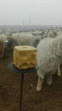 小尾寒羊吃毛啃毛怎么办?怎样能预防羊吃毛图片
