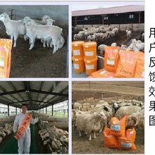 育肥羊60天出栏技术图片