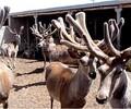 怎样提高鹿茸的产量英美尔鹿增重饲料