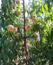 周口桃树苗批发价格丨周口哪里卖桃树苗多少钱一棵丨周口出售3公分桃树苗