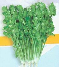 四季香菜王香菜种子抽薹晚
