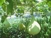 夏娃西葫芦种子法国产地