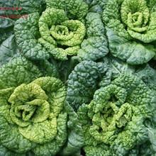 供应常丰乌塌菜种子图片