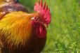 讓公雞快速冠紅毛亮、體健肥美、尾長艷麗、腿細距長的方法