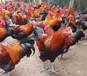 線雞閹雞催肥增重長蹬爪長雞距的方法,閹雞養殖催肥方法