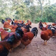 阉鸡营养高怎样促进阉鸡生长呢艳利美让阉鸡催肥增重尾长艳丽图片