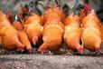 養雞快速催肥增重的方法合理催肥增重方法你知道嗎