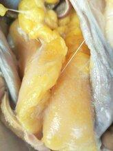 这样养鸡狂长黄油不掉蛋怎样喂鸡快速长出黄油图片