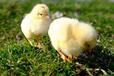 土雞怎么喂長得快又肥,養雞少發疾病秘訣快用達龍速肥美